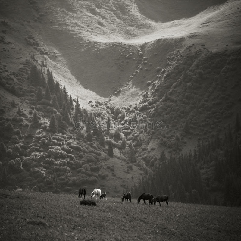 Cavalli che pascono nelle montagne immagine stock libera da diritti