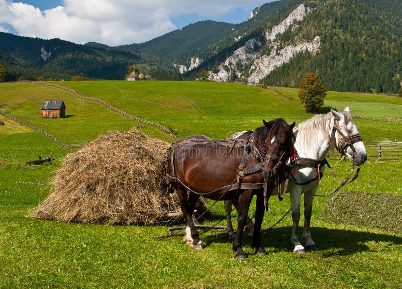 Cavalli che trasportano mucchio di fieno fotografia stock libera da diritti