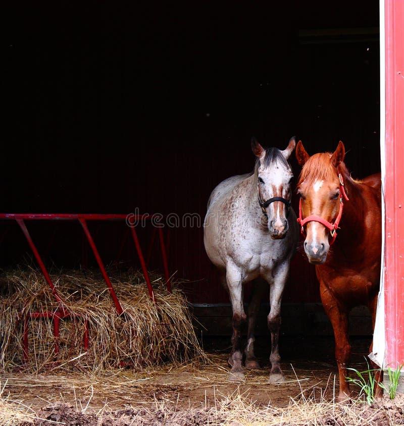 Cavalli curiosi in granaio immagini stock libere da diritti