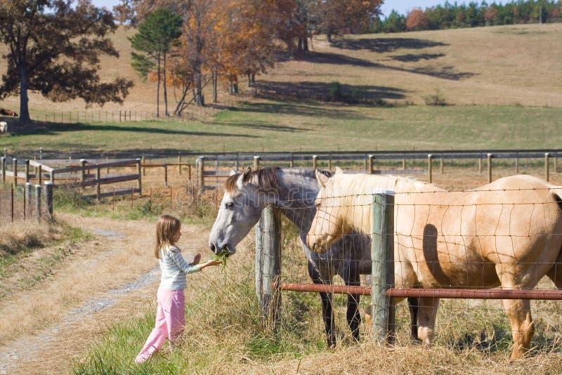 Cavalli d'alimentazione della ragazza immagine stock