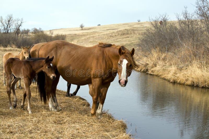 Cavalli da insenatura fotografia stock libera da diritti
