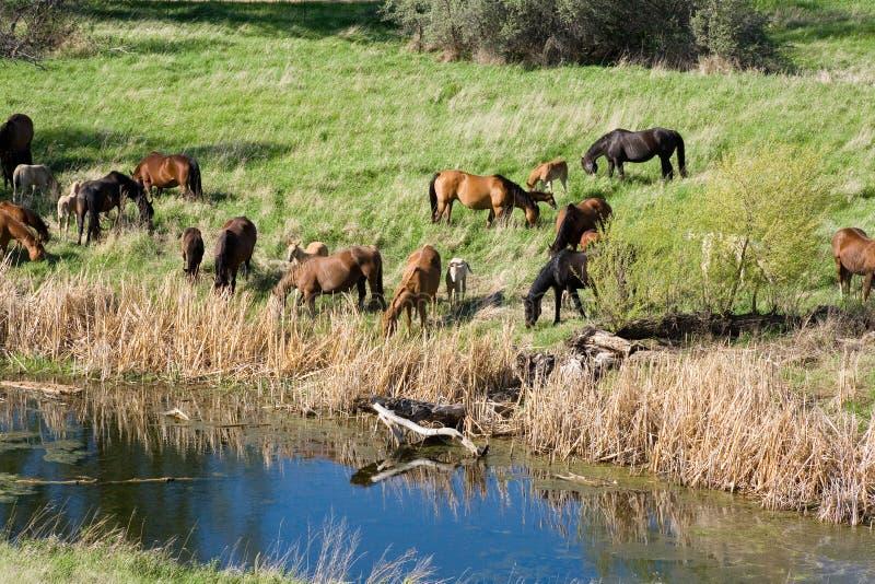 Cavalli da insenatura fotografia stock