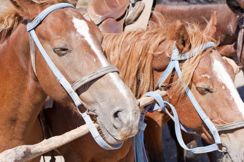 Cavalli del Brown sul ranch fotografia stock libera da diritti