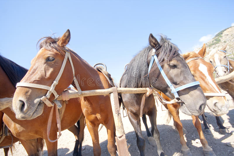 Cavalli del Brown sul ranch fotografie stock libere da diritti