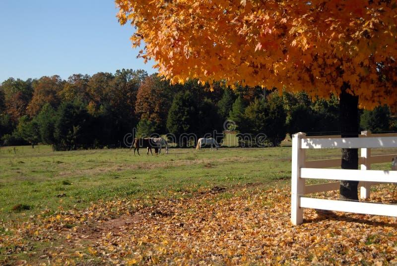 cavalli del campo di autunno immagini stock