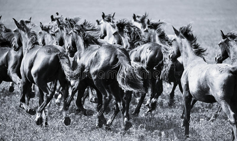 cavalli del gregge giovani immagine stock