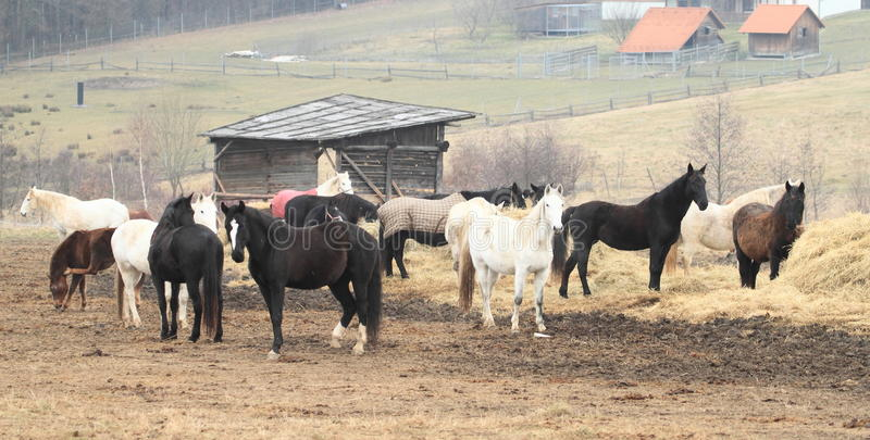 Cavalli del od del gregge fotografie stock