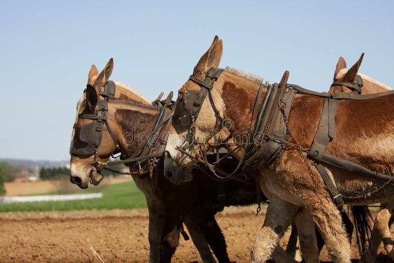 Cavalli di aratro che funzionano duro immagine stock