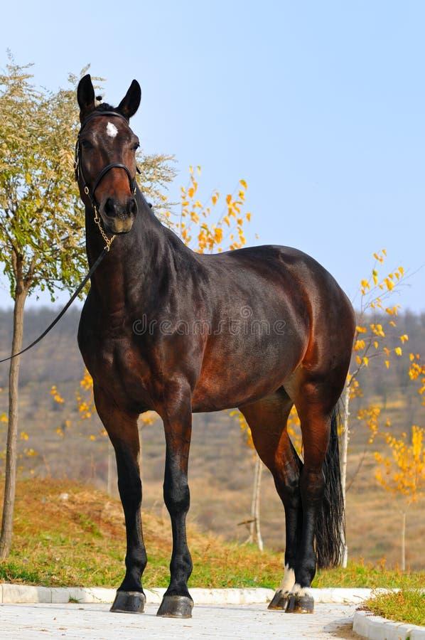 Cavalli di baia esterni immagini stock
