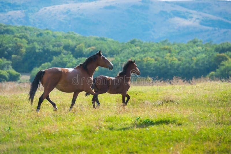 Cavalli di baia scuri correnti immagini stock