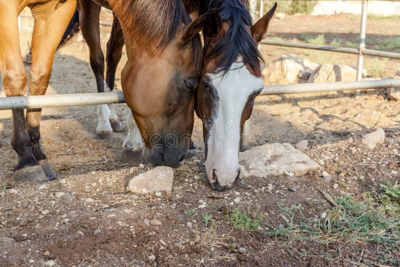 Cavalli di Brown che pascono erba fotografie stock libere da diritti