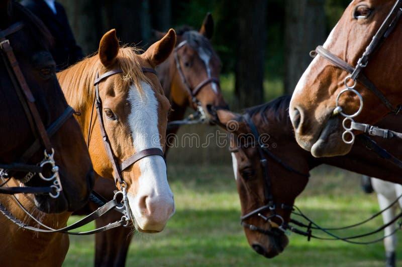 Cavalli di caccia di Fox fotografia stock libera da diritti