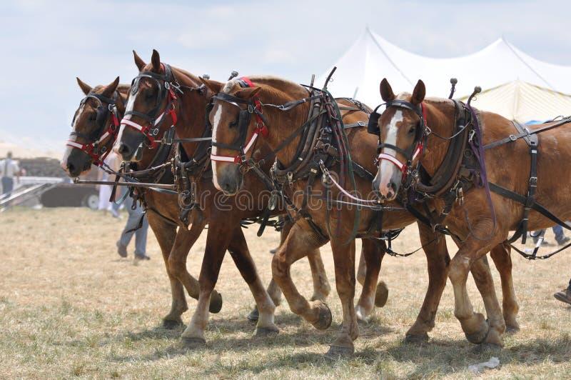 Cavalli di cambiale belgi 4 a fiancato il giorno caldo fotografia stock