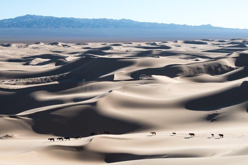 Cavalli di deserto del Gobi che camminano nelle dune di sabbia fotografia stock