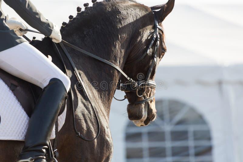 Cavalli di dressage fotografia stock libera da diritti