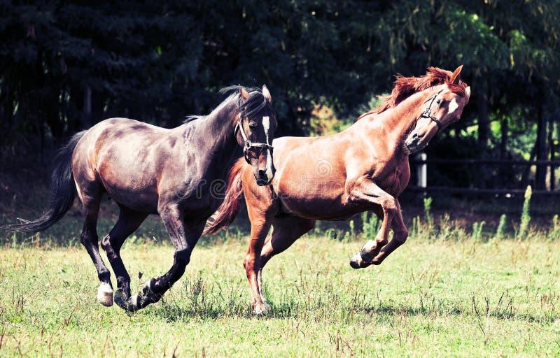 Cavalli di galoppo fotografie stock