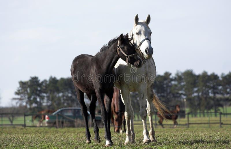 cavalli due fotografie stock