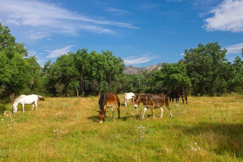 Cavalli e muli in montagna Pature immagini stock libere da diritti