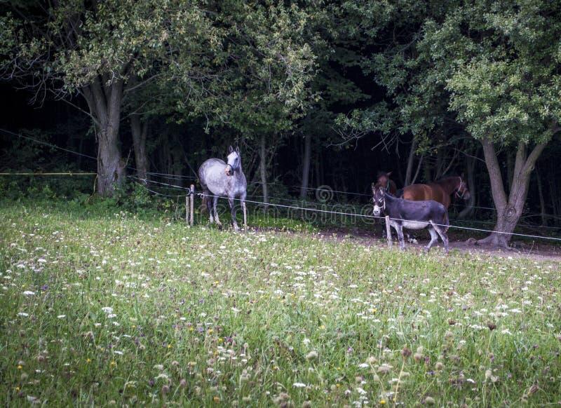Cavalli ed asini nel recinto per bestiame sotto gli alberi sui prati fotografia stock libera da diritti