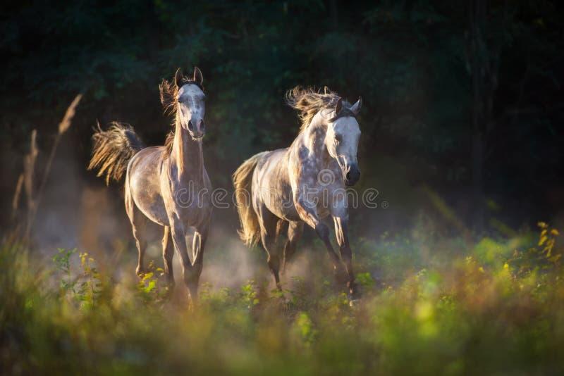 Cavalli fatti funzionare in polvere fotografie stock
