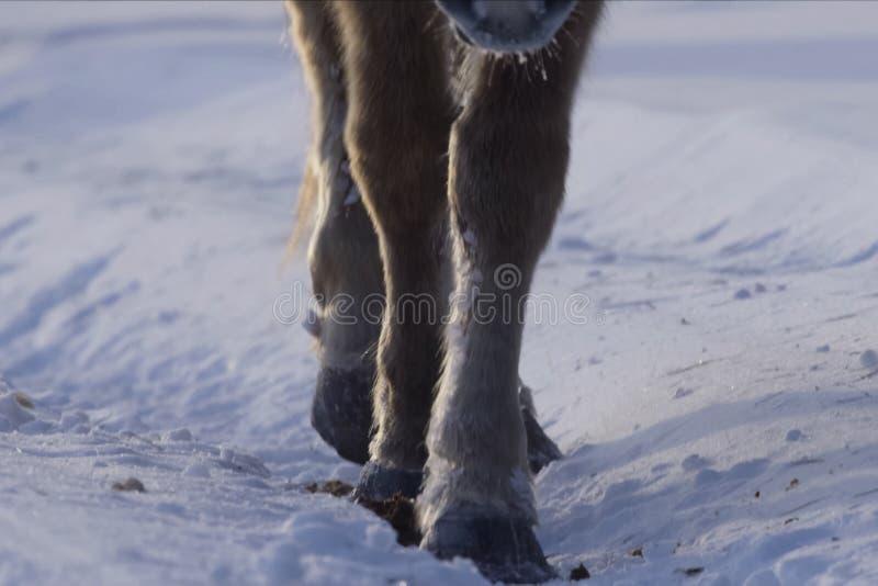 Cavalli iacuti nell'inverno nella neve La razza dei cavalli iacuti fotografie stock
