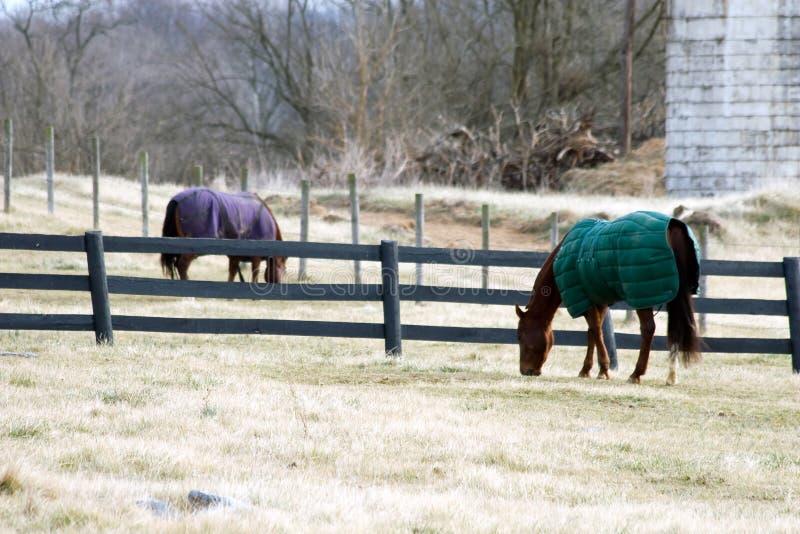 Cavalli in inverno immagine stock