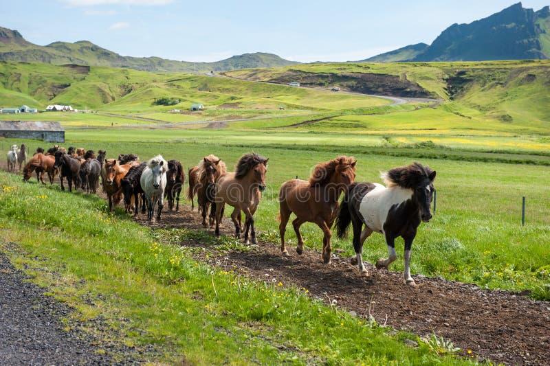 Cavalli islandesi che galoppano giù una strada, paesaggio rurale, Islanda fotografia stock libera da diritti