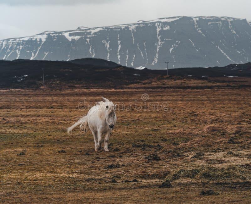 Cavalli islandesi Il cavallo islandese è una razza del cavallo sviluppata in Islanda Sebbene i cavalli siano piccoli, a volte immagine stock