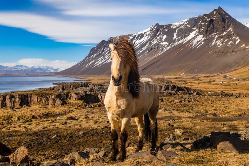 Cavalli islandesi Il cavallo islandese ? una razza del cavallo sviluppata in Islanda fotografia stock libera da diritti
