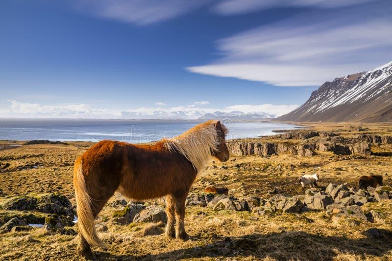 Cavalli islandesi Il cavallo islandese ? una razza del cavallo sviluppata in Islanda immagini stock libere da diritti