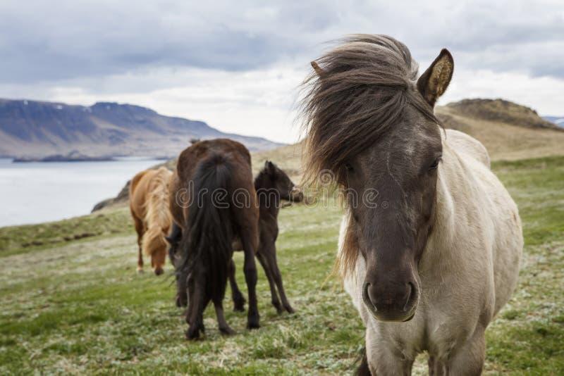 Cavalli islandesi, Islanda fotografie stock