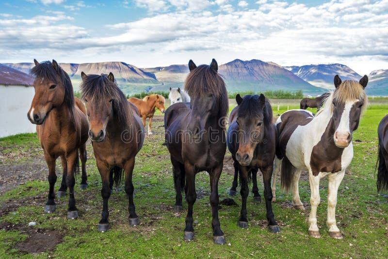 Cavalli islandesi nell'azienda agricola del villaggio di Varmahlid L'Islanda nordoccidentale immagine stock
