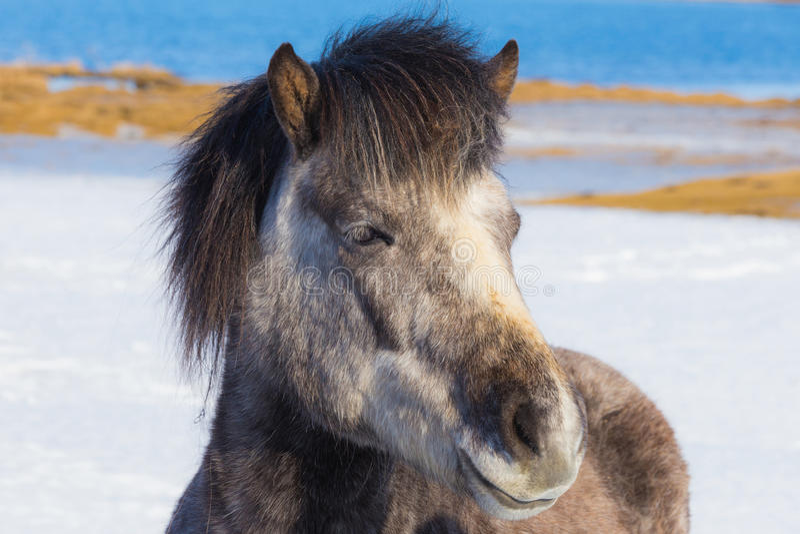 Cavalli islandesi sopra la terra della neve fotografia stock
