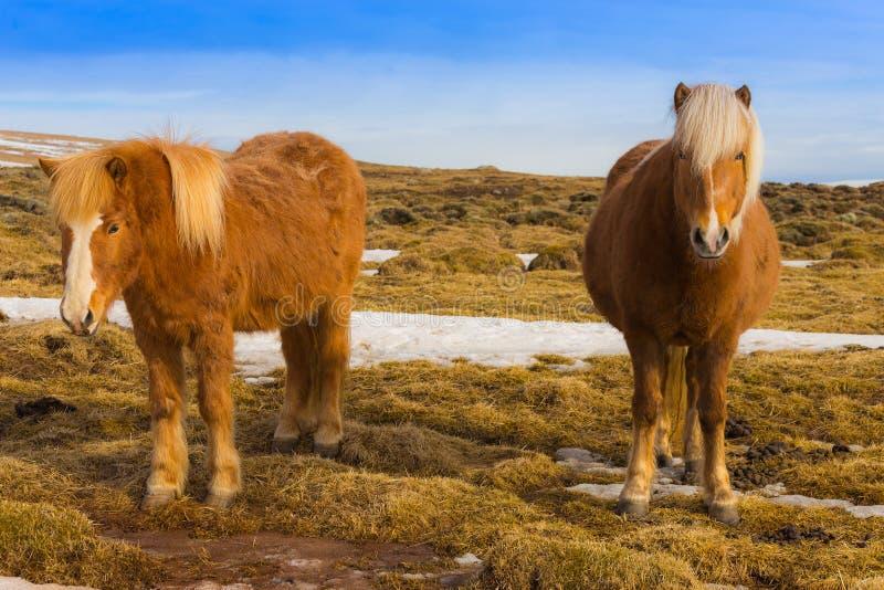 Cavalli islandesi su erba asciutta immagini stock