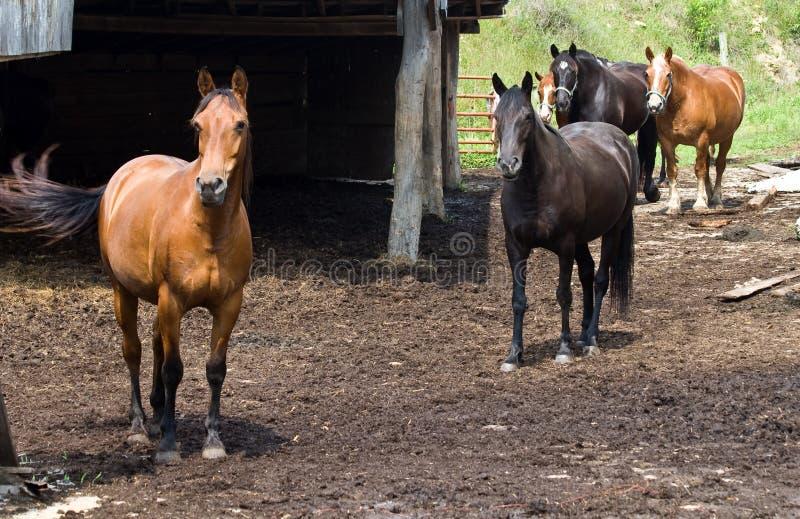 cavalli la Virginia dell'azienda agricola ad ovest immagini stock