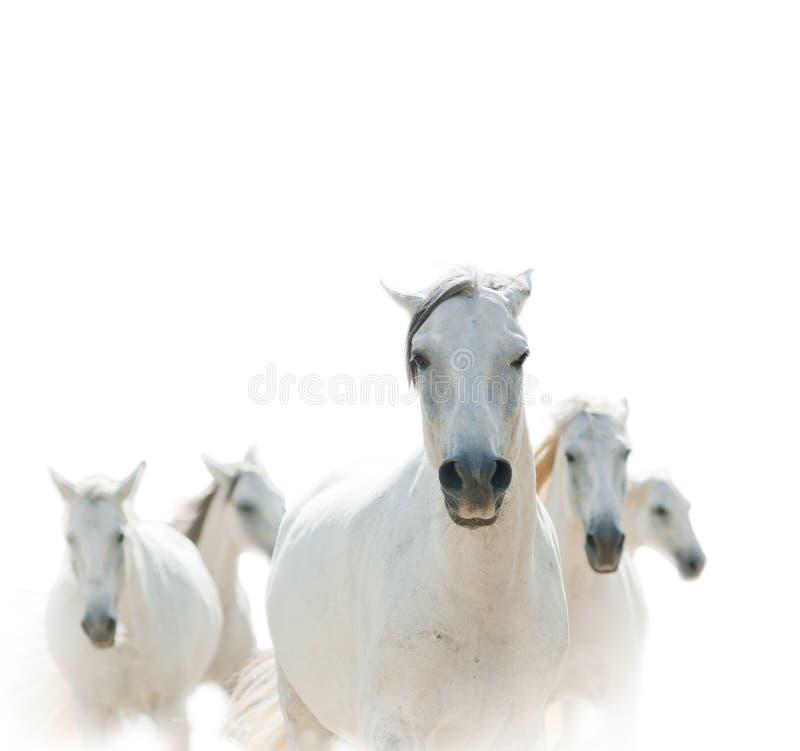 Cavalli lipizzian bianchi fotografia stock libera da diritti
