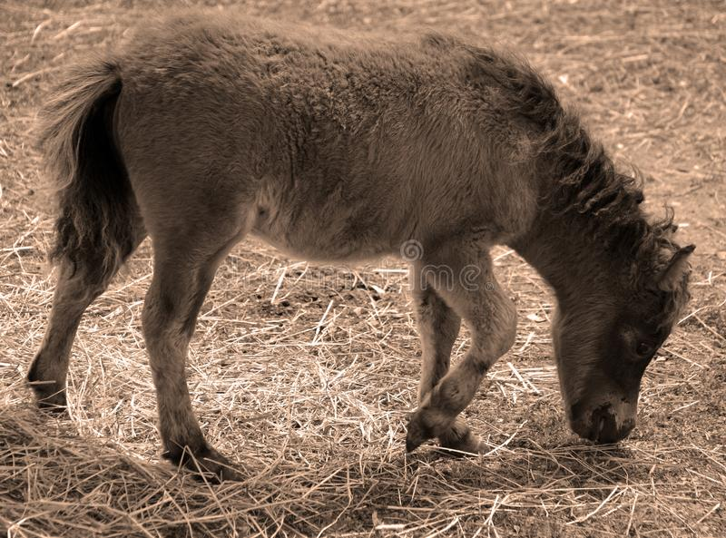 Cavalli miniatura fotografia stock