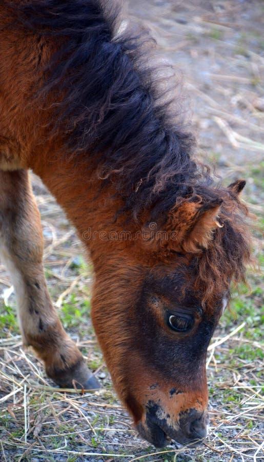 Cavalli miniatura immagine stock