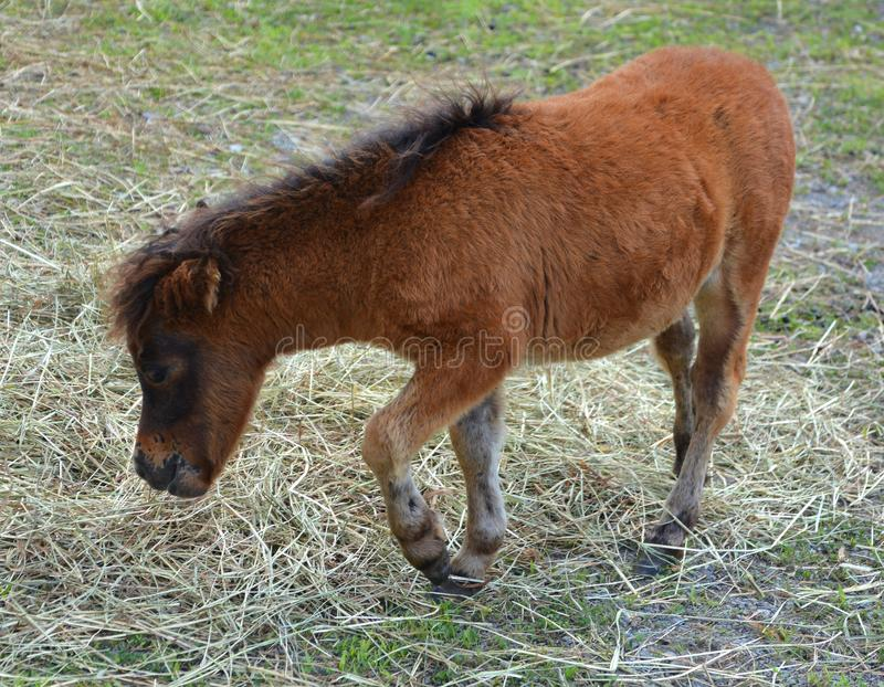 Cavalli miniatura fotografia stock libera da diritti