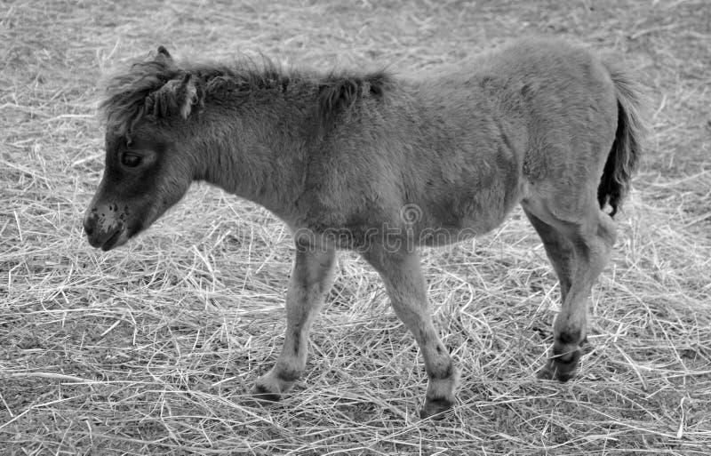 Cavalli miniatura immagini stock libere da diritti