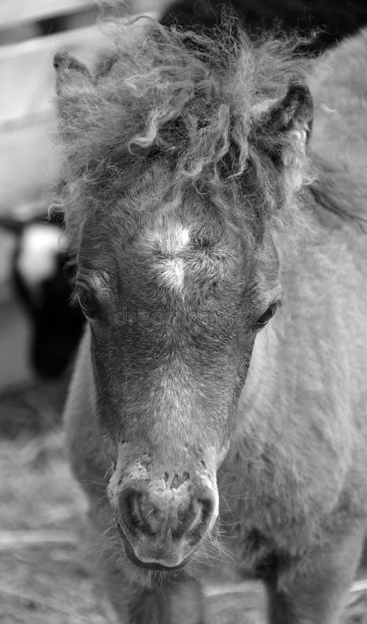 Cavalli miniatura fotografie stock