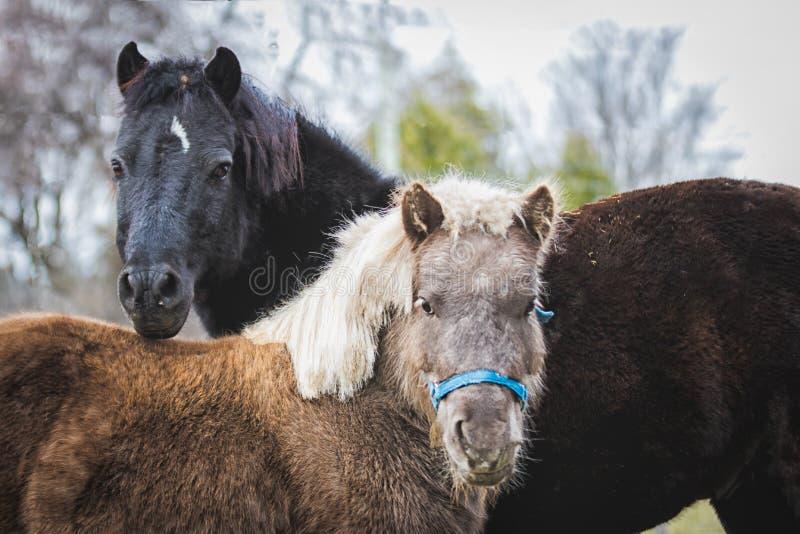 Cavalli miniatura curiosi a colori fotografia stock libera da diritti