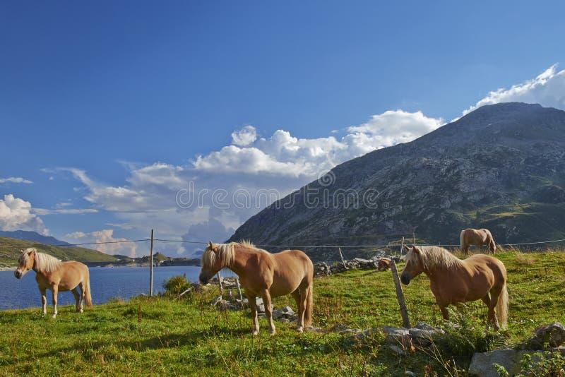 Cavalli in montagna immagine stock