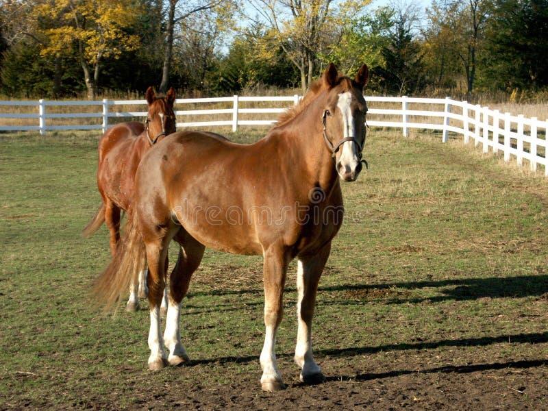 Cavalli nel campo fotografia stock libera da diritti