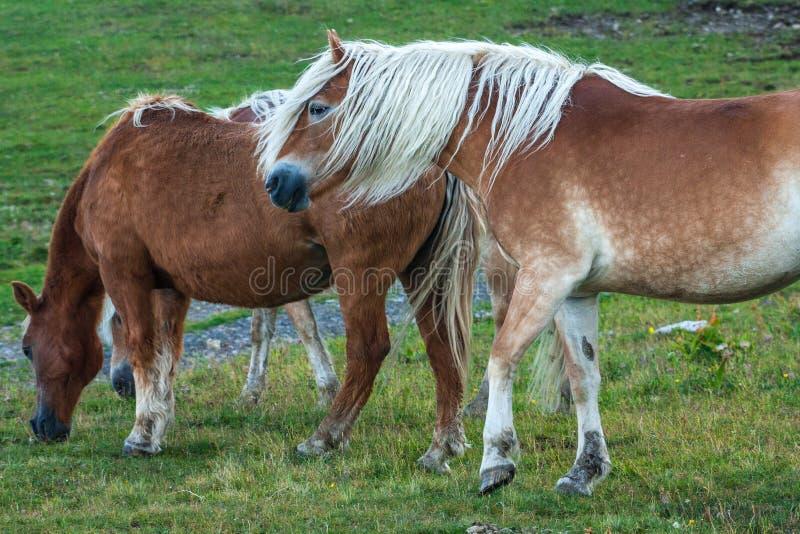 Cavalli nel Dolomities immagini stock libere da diritti