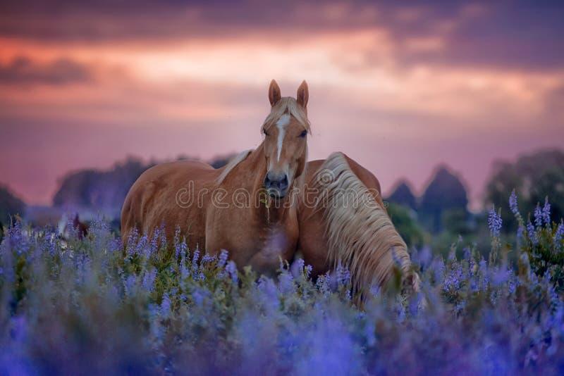 Cavalli nel giacimento di fiori ad alba fotografia stock libera da diritti