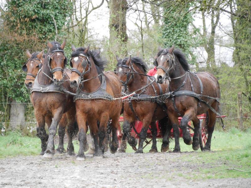 Cavalli nel lavoro di squadra del cablaggio fotografia stock