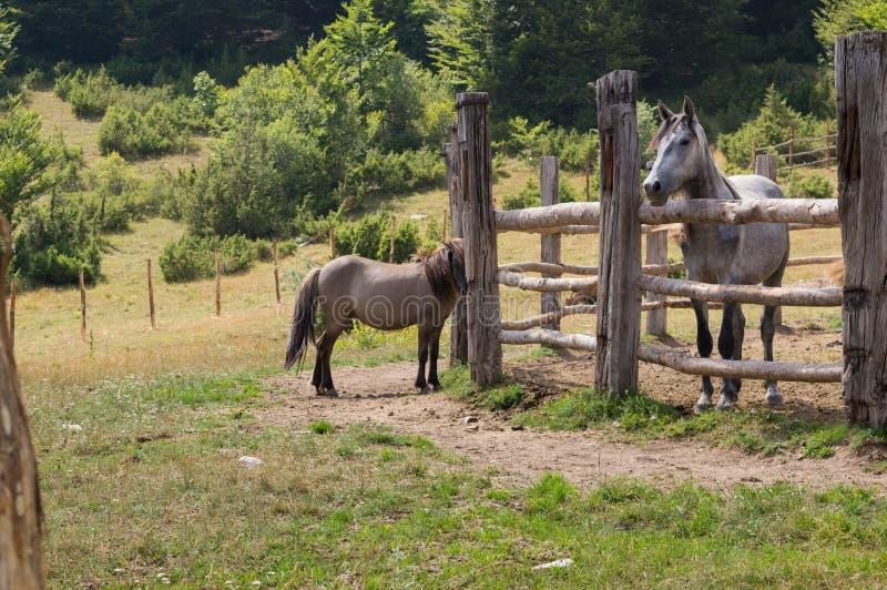 Cavalli nel parco nazionale di Mavrovo fotografia stock libera da diritti