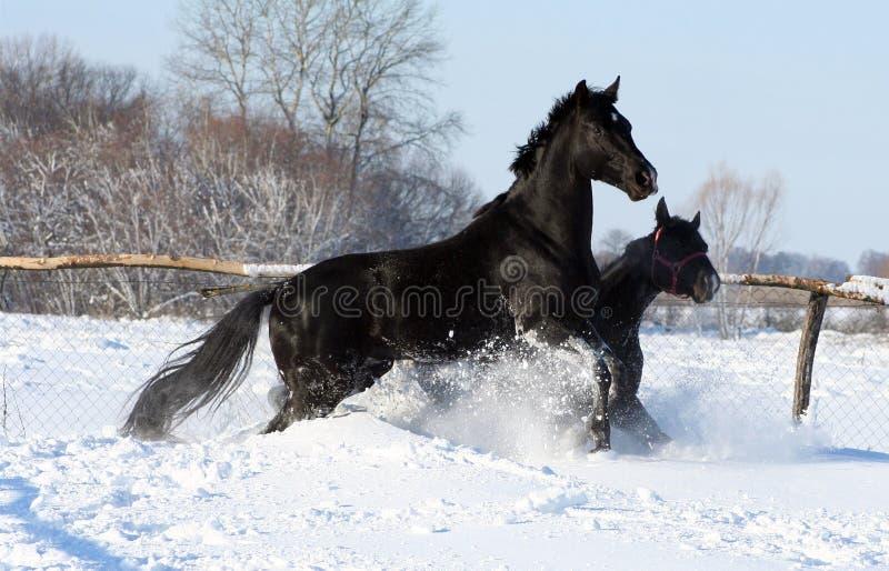 Cavalli nella neve fotografie stock libere da diritti