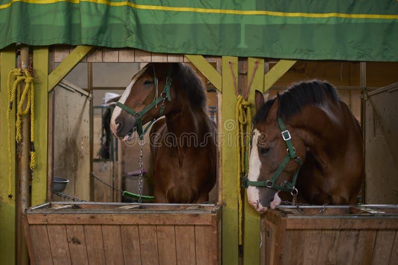 Cavalli nelle stalle immagine stock